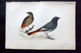 Morris 1870 Antique Bird Print. Blackstart